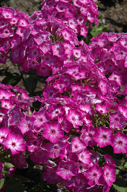 Early Start™ Purple Garden Phlox (Phlox Paniculata U0027Early Start Purpleu0027) At