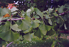 Ginkgo (Ginkgo biloba) at Bayport Flower Houses