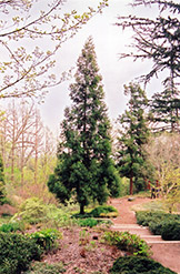 Japanese Cedar (Cryptomeria japonica) at Bayport Flower Houses