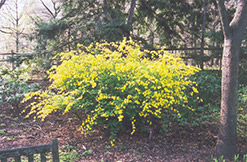 Japanese Kerria (Kerria japonica) at Bayport Flower Houses