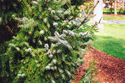 Serbian Spruce (Picea omorika) at Bayport Flower Houses