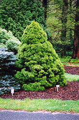 Dwarf Alberta Spruce (Picea glauca 'Conica') at Bayport Flower Houses