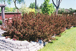 Wine and Roses® Weigela (Weigela florida 'Alexandra') at Bayport Flower Houses