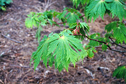 Fullmoon Maple (Acer japonicum) at Bayport Flower Houses