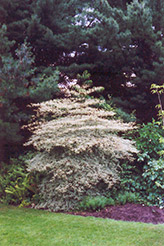Variegated Pagoda Dogwood (Cornus alternifolia 'Argentea') at Bayport Flower Houses