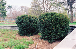 Hill's Yew (Taxus x media 'Hillii') at Bayport Flower Houses