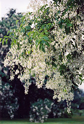 Yellowwood (Cladrastis lutea) at Bayport Flower Houses