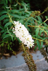 Nanho White Butterfly Bush (Buddleia davidii 'Nanho Alba') at Bayport Flower Houses