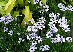Devon Skies Blue-Eyed Grass (Sisyrinchium 'Devon Skies') at Bayport Flower Houses