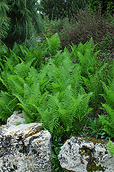 Ostrich Fern (Matteuccia strutheriopteris) at Bayport Flower Houses