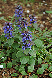 Caitlin's Giant Bugleweed (Ajuga reptans 'Caitlin's Giant') at Bayport Flower Houses