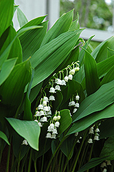 Lily-Of-The-Valley (Convallaria majalis) at Bayport Flower Houses