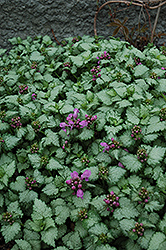 Red Nancy Spotted Dead Nettle (Lamium maculatum 'Red Nancy') at Bayport Flower Houses
