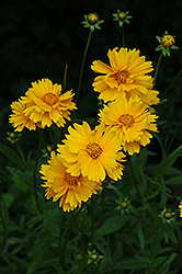 Early Sunrise Tickseed (Coreopsis 'Early Sunrise') at Bayport Flower Houses