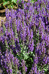 Marcus Sage (Salvia nemorosa 'Marcus') at Bayport Flower Houses