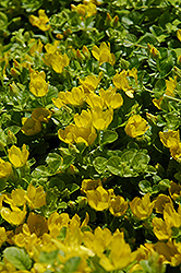Creeping Jenny (Lysimachia nummularia) at Bayport Flower Houses