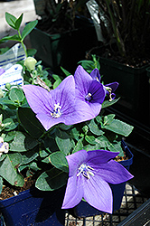 Astra Blue Balloon Flower (Platycodon grandiflorus 'Astra Blue') at Bayport Flower Houses