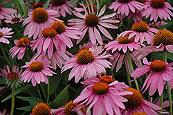 Magnus Coneflower (Echinacea purpurea 'Magnus') at Bayport Flower Houses