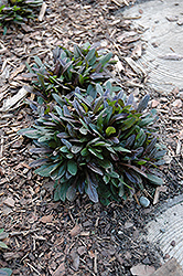 Chocolate Chip Bugleweed (Ajuga reptans 'Chocolate Chip') at Bayport Flower Houses