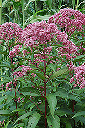 Joe Pye Weed (Eupatorium maculatum) at Bayport Flower Houses