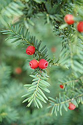 Japanese Yew (Taxus cuspidata) at Bayport Flower Houses