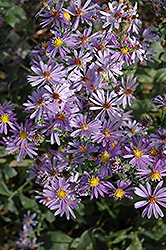 Bluebird Aster (Aster laevis 'Bluebird') at Bayport Flower Houses