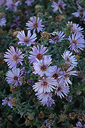 Woods Blue Aster (Aster 'Woods Blue') at Bayport Flower Houses