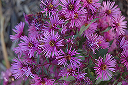 Woods Pink Aster (Aster 'Woods Pink') at Bayport Flower Houses