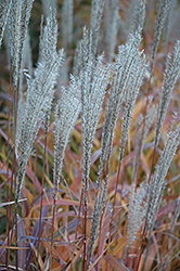 Flame Grass (Miscanthus sinensis 'Purpurascens') at Bayport Flower Houses