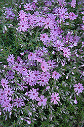 Fort Hill Moss Phlox (Phlox subulata 'Fort Hill') at Bayport Flower Houses