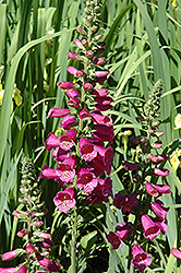 Camelot Rose Foxglove (Digitalis purpurea 'Camelot Rose') at Bayport Flower Houses