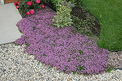 Red Creeping Thyme (Thymus praecox 'Coccineus') at Bayport Flower Houses