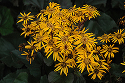 Britt Marie Crawford Rayflower (Ligularia dentata 'Britt Marie Crawford') at Bayport Flower Houses