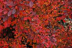 Rose Glow Japanese Barberry (Berberis thunbergii 'Rose Glow') at Bayport Flower Houses