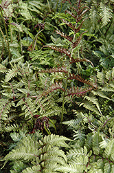 Japanese Painted Fern (Athyrium nipponicum 'Metallicum') at Bayport Flower Houses