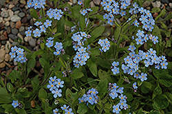 Forget-Me-Not (Myosotis sylvatica) at Bayport Flower Houses