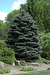 Fat Albert Blue Spruce (Picea pungens 'Fat Albert') at Bayport Flower Houses