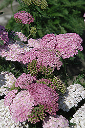 Apple Blossom Yarrow (Achillea millefolium 'Apple Blossom') at Bayport Flower Houses