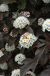 Diablo Ninebark (Physocarpus opulifolius 'Diablo') at Bayport Flower Houses