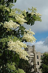Ivory Silk Japanese Tree Lilac (Syringa reticulata 'Ivory Silk') at Bayport Flower Houses