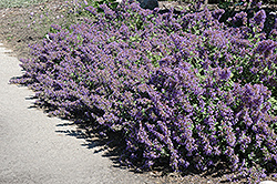Walker's Low Catmint (Nepeta x faassenii 'Walker's Low') at Bayport Flower Houses