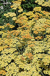 Terra Cotta Yarrow (Achillea 'Terra Cotta') at Bayport Flower Houses