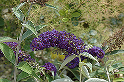 Adonis Blue™ Butterfly Bush (Buddleia davidii 'Adokeep') at Bayport Flower Houses