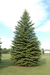 Colorado Spruce (Picea pungens) at Bayport Flower Houses