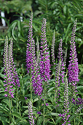 Eveline Speedwell (Veronica longifolia 'Eveline') at Bayport Flower Houses