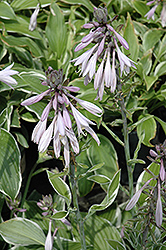Francee Hosta (Hosta 'Francee') at Bayport Flower Houses