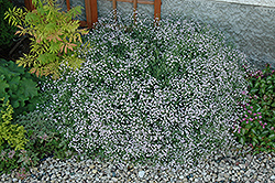 Common Baby's Breath (Gypsophila paniculata) at Bayport Flower Houses
