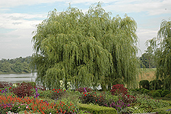 Golden Weeping Willow (Salix alba 'Tristis') at Bayport Flower Houses