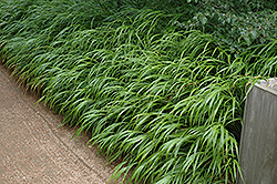 Japanese Woodland Grass (Hakonechloa macra) at Bayport Flower Houses