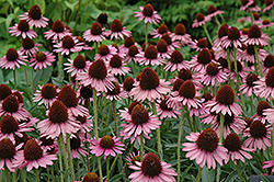 Pixie Meadowbrite Coneflower (Echinacea 'Pixie Meadowbrite') at Bayport Flower Houses